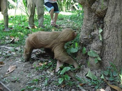 Projects Abroad員工和志工們在南美秘魯的塔利卡亞生態保育園區野放一頭樹獺