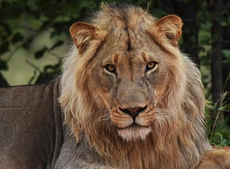 Projects Abroad博茨瓦納環保項目志工發現一頭雄獅在休息中