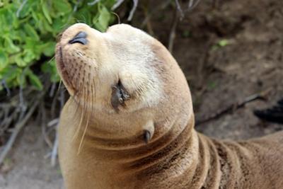 厄瓜多爾加拉帕戈斯群島的海獅