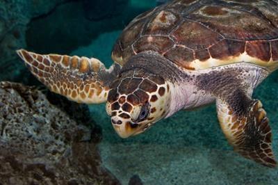 北美洲墨西哥的棱皮龜
