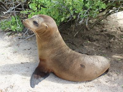 海獅在厄瓜多爾海灘的照片