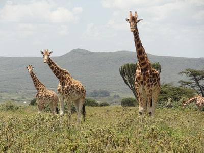 志工在肯雅非洲稀樹草原環保項目觀察長頸鹿的生態