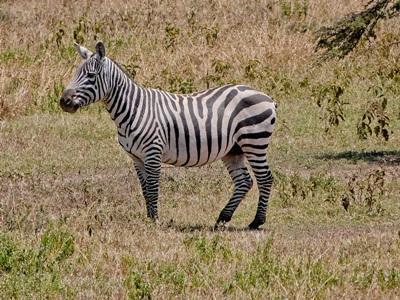 Projects Abroad肯雅環保項目的志工所觀察到的斑馬