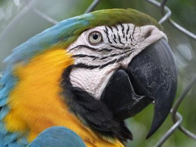 志工在秘魯環境保護項目裡觀察到的鸚鵡