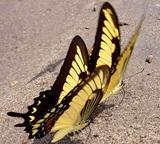 蝴蝶類物種清單