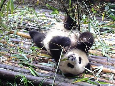 學生在放假期間參與動物關愛志工營,協助保育住在動物保護區的熊貓