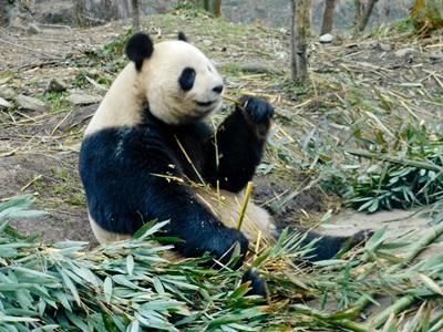 Projects Abroad志工在野外地區參與中國的動物關愛項目進行熊貓保育工作