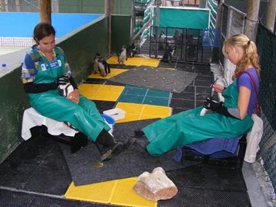 志工幫助檢查和餵飼企鵝