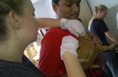 Projects Abroad獸醫項目實習生在斯里蘭卡的動物診所協助照顧受傷的狗隻