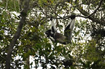 馬達加斯加安達西貝附近的國家公園裡一隻狐猴在樹叢之間懸擺不定